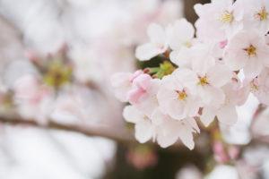 春といえば桜ロケ